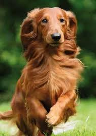 dauchshund